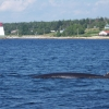 Minke Whale & Sandy Point Light